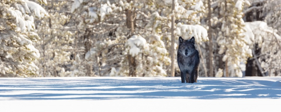 A wolf in Yellowstone