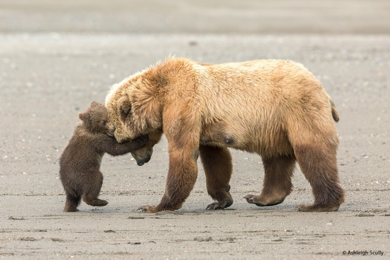 "Observes Ashleigh Scully: ""This image of a coastal brown bear sow and her spring cub was taken one June afternoon at Lake Clark National Park in Alaska. I witnessed a lot of unique behavior among the resident bears at this park, including this mother and her two cubs. This image was honored as a runner-up in the 2017 Wildlife Photographer of the Year competition in the 11-14 year-old category, close behind the winner, which was a red fox image that I took. In this image, the mother brown bear was wrestling with one of her cubs, play-fighting on the beach after a session digging up clams in the soft tidal mud. While the mother is likely teaching her cub how to be strong and tough, it is hard not to notice the affectionate nature of the embrace as well. I was so glad to have witnessed this scene, as it changed my perspective on bears forever."""