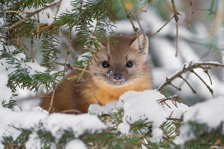 "The chance to create this image, ""Pine Marten,"" presented itself quite unexpectedly. ""Last winter over the course of a few days, my family had a surprise visit from an American Marten at our home in Jackson Hole,"" Scully says. ""The marten was extremely curious, and enjoyed running around the yard from cottonwood to cottonwood, sweeping off the snow drifts from the bark, searching for cavities where a tasty red squirrel snack might be hiding. Each morning I had my camera and lens ready on a window sill and we each peeked out of the kitchen windows, hoping the marten would make an appearance. At one point, it climbed into a spruce tree by our back desk and laid flat in the crook of a tree branch and closed its eyes for a nap. I quietly went outside in pajamas and boots and took some photos of it resting. This image was taken as it lifted its head to inspect me, as if I was the strange one to be seen that day! This remains one of my favorite wildlife encounters and experiences in Jackson Hole."""