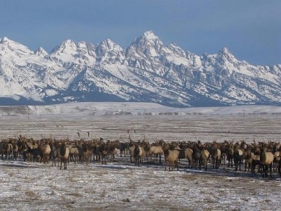 Elk on a feed line in Jackson Hole