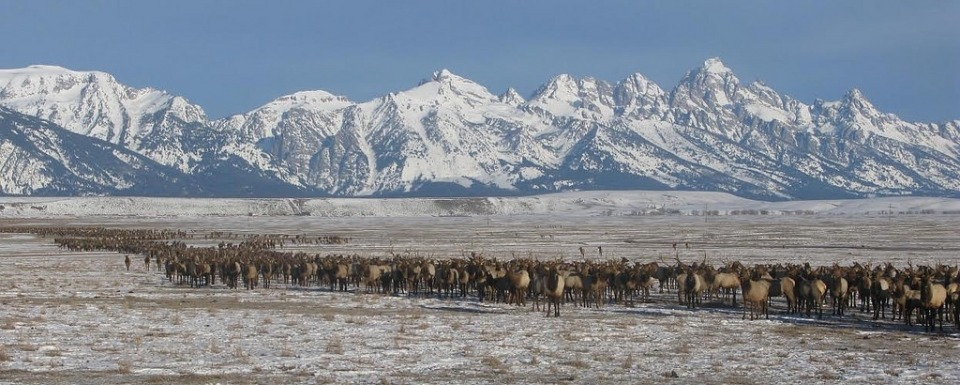 Thousands of elk on feed in Jackson Hole