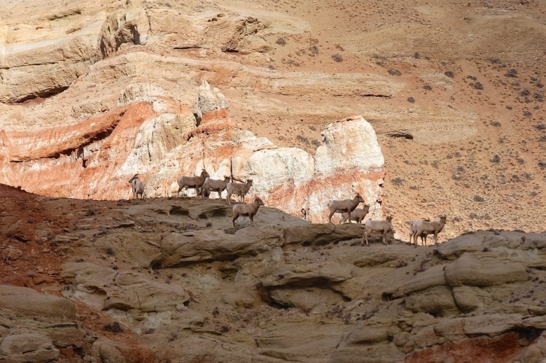 Bighorn sheep find solace in the Dubois Badlands Wilderness Study Area. Photo courtesy Bruce Thompson