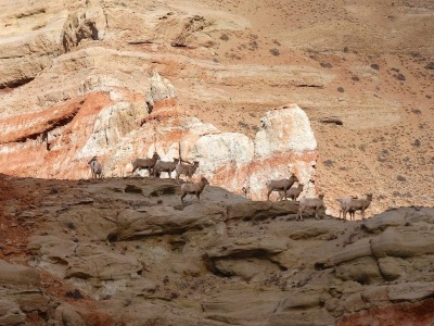 Bighorn Sheep in the Dubois Badlands
