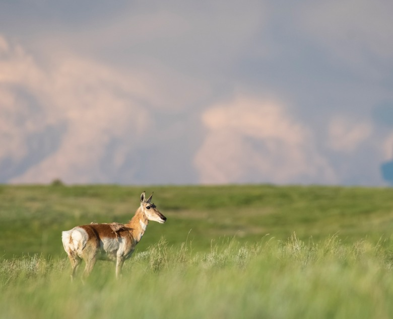 Home, home on the range: pronghorn are among the habitat beneficiaries  found on the American Prairie Reserve. APR is dedicated to restoring and rewilding what was once one of the most biologically rich ecosystems in the West.  Photo courtesy American Prairie Reserve.