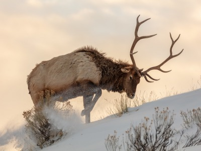 It's been a trough winter for elk