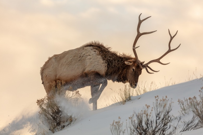 A bull elk pushes through deep snow in Yellowstone. Photo courtesy Jacob W. Frank/NPS
