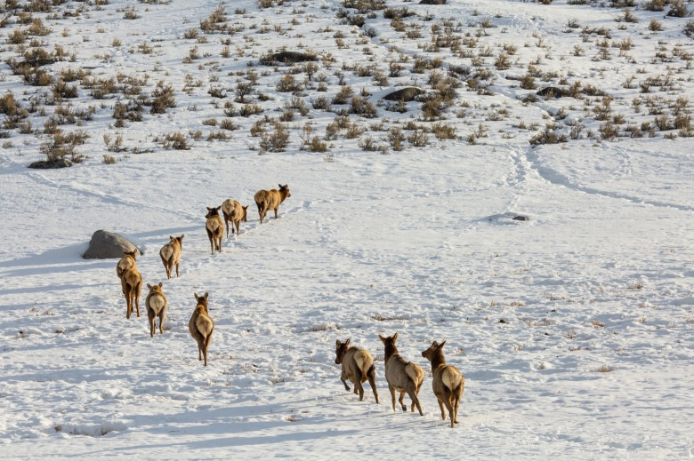 Elk on the move in Yellowstone. Photo courtesy Neal Herbert/NPS