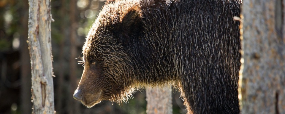 In Yellowstone, what are odds of getting mauled?