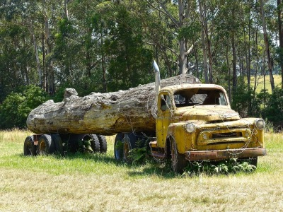 A logging truck and old-growth tree