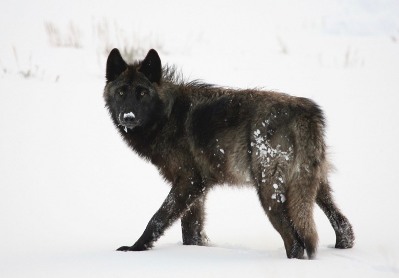 Photo of Yellowstone wolf in Lamar Valley courtesy Jim Peaco/NPS
