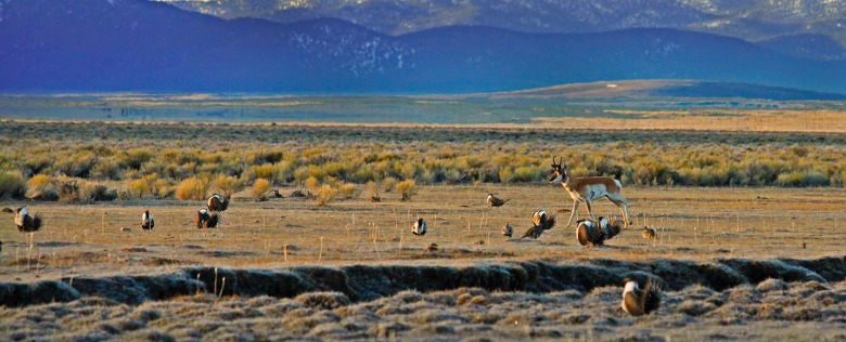 Pronghorn and sage-grouse: can the two co-exist with energy development. Photo courtesy PERC