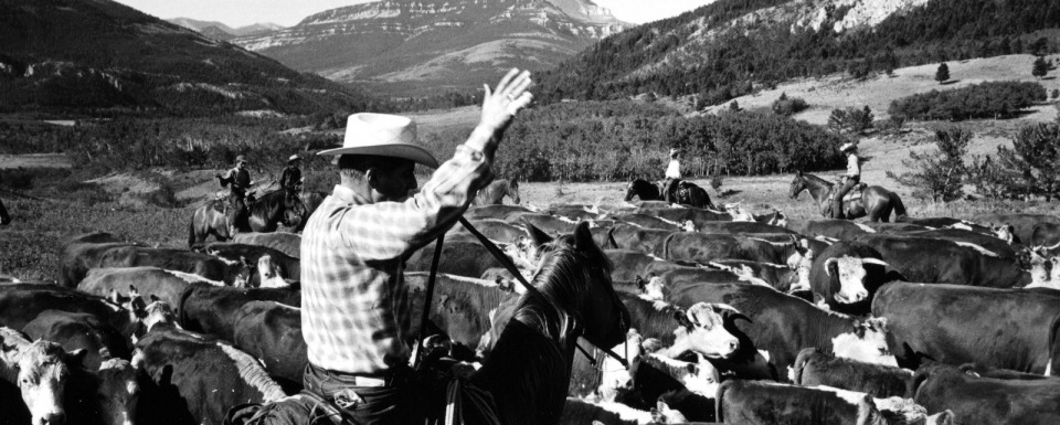 Robert Staffanson on a Montana cattle drive half a century ago.