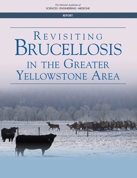 In 2017, the National Academies of Sciences released this report examining the issue of brucellosis, wildlife and livestock. It found that elk, not bison, represent the most serious threat of transmitting the disease to cattle, debunking the argument used by the livestock industry and politicians that resulted in the deaths of more than 11,500 park bison.  The report also said that artificially feeding elk made the disease threat worse.
