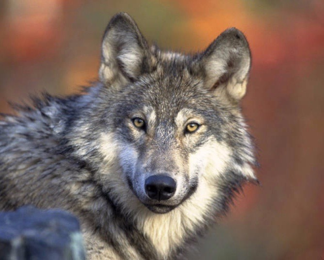 Dobson says wolves and other predators, far from being enemies of ecosystem health, play an important role in slowing the spread of disease.  Photo courtesy Gary Kramer/US Fish and Wildlife Service