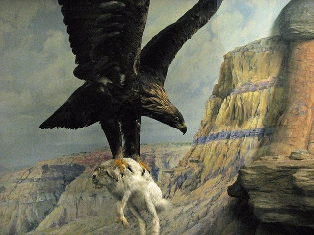 Golden eagle hunting, part of a diorama at the Field Museum in Chicago. Photo courtesy Steve Richmond/Wikimedia Commons