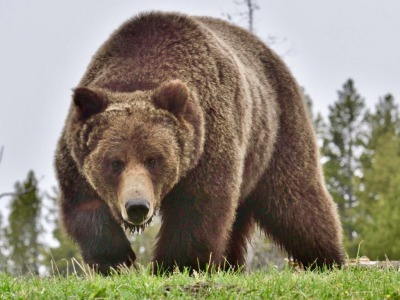 A Greater Yellowstone grizzly