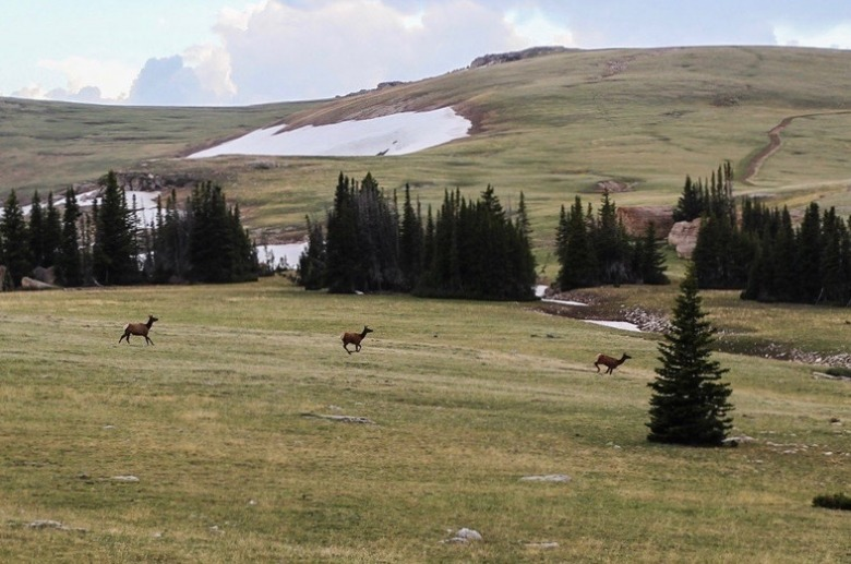 Elk migrate through Wyoming's Bighorn Mountains. While the public lands high country provides crucial range for wapiti in three seasons, lower-elevation private land functions as crucial winter range and as passageways between the mountains. The epic wildlife migrations of Greater Yellowstone, like those in the Bighorns, cannot endure without the goodwill of private landowners whose contributions need to be recognized and rewarded.  Photo courtesy Gregory Nickerson/Wyoming Migration Initiative/University of Wyoming
