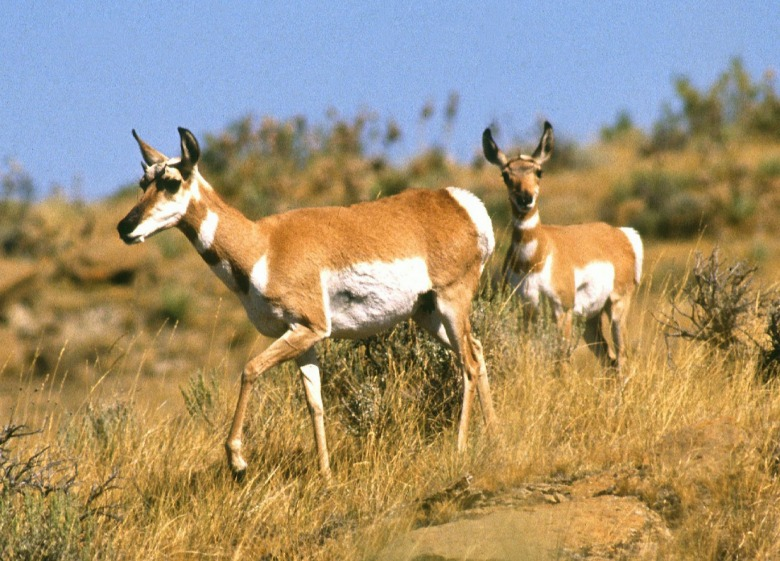 "Pronghorn migrate long distances across both public and private land, with the ""Path of the Pronghorn"" stretching between Grand Teton National Park and Wyoming's Red Desert being a heralded and fragile route.  For pronghorn populations across the West, open working ranch lands, free of development, are crucial to the ecological function of the passageways. Photo courtesy Jack Dykinga/USDA Agricultural Research Service"