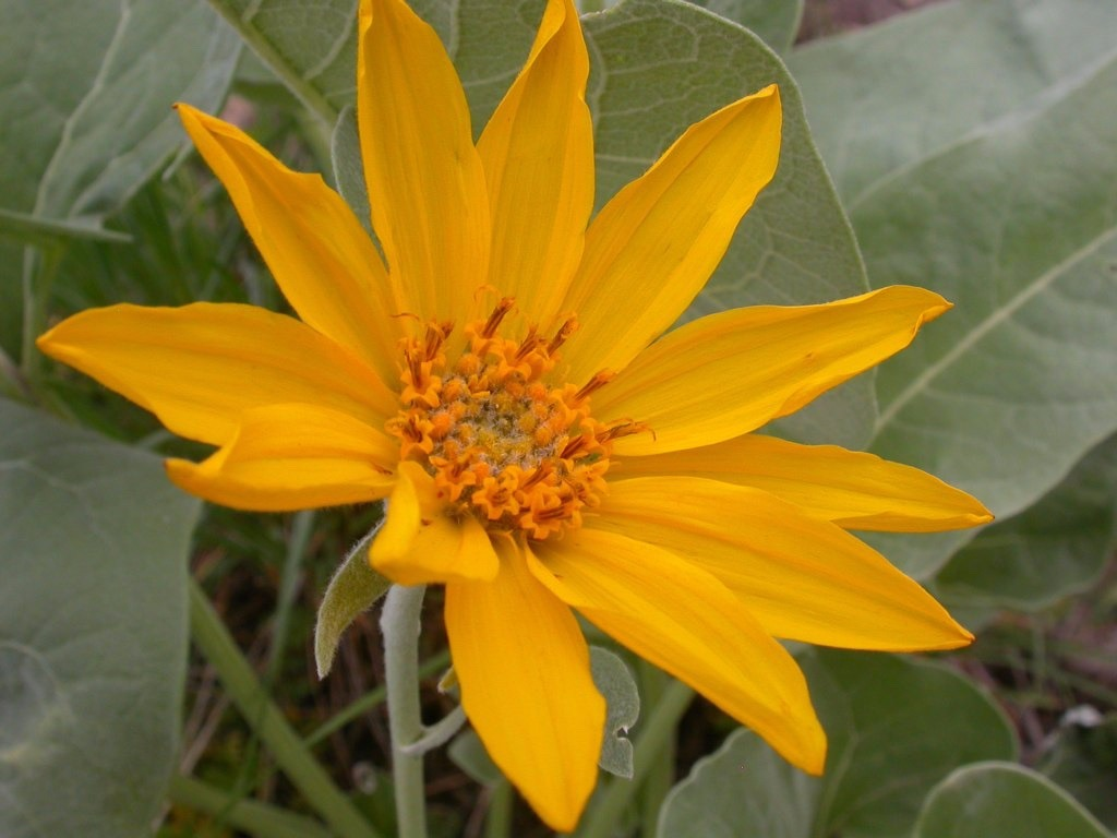 Arrowleaf balsamroot, one of the stars of the summer wildflower season.