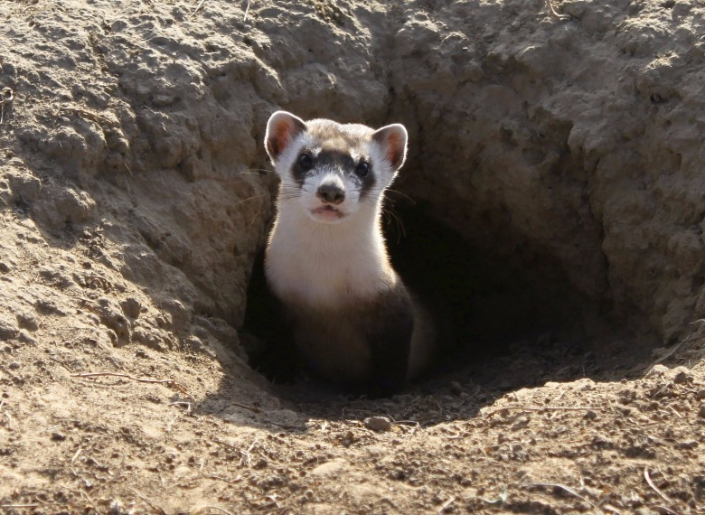 The black-footed ferret is the most critically-endangered land mammal in North America. Once thought extinct, a tiny population was discovered decades ago on a ranch near Meteetse, Wyoming and the animals were brought into captivity. Thanks to the Endangered Species Act, black-footed ferrets are getting a second chance in the wild. They depend on prairie dogs to survive but prairie dogs remain targets of annihilation in the West.  Photo courtesy Ryan Moehring/US Fish and Wildlife Service