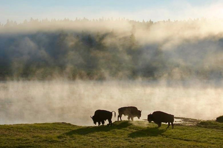 A band of young Yellowstone bison. Photograph courtesy Steven Fuller