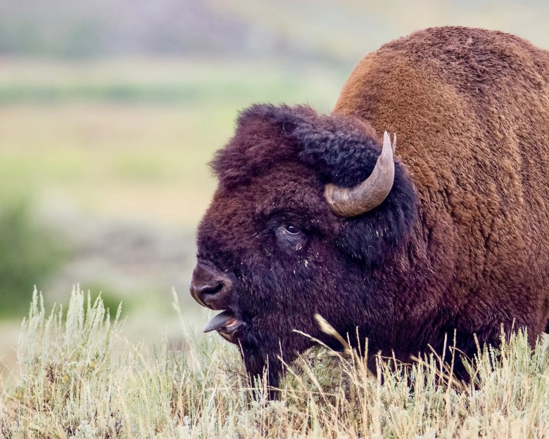 A bison bull, some of whose descendants are bound for Fort Peck. Photo courtesy Neal Herbert/NPS