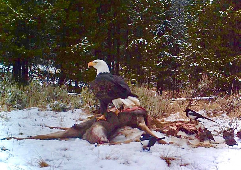 A bald eagle and other avian scavenger feast upon a deer wounded by a hunter's bullet  that later died.  If any of these birds ingests lead, chances are high it could get sick or die.  Every year, bald eagles, America's national wildlife symbol, die from exposure to lead ammo. Photo courtesy Craighead Beringia South in Jackson Hole