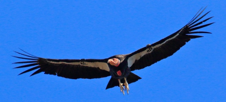 The survival of critically-endangered California condors remains threatened due to lead ammo in the environment. Photo courtesy Gavin Emmons/National Park Service