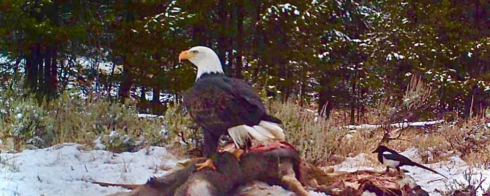 A bald eagle feasts on a carcass