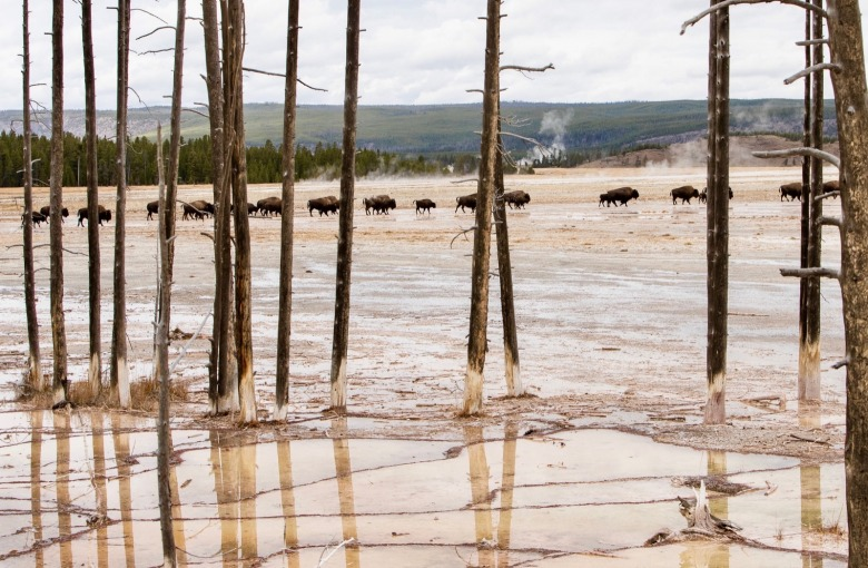Bison move across Yellowstone's Fountain Paint Pots as if part of a surreal wild illusion.  Photo courtesy Jim Peaco/NPS
