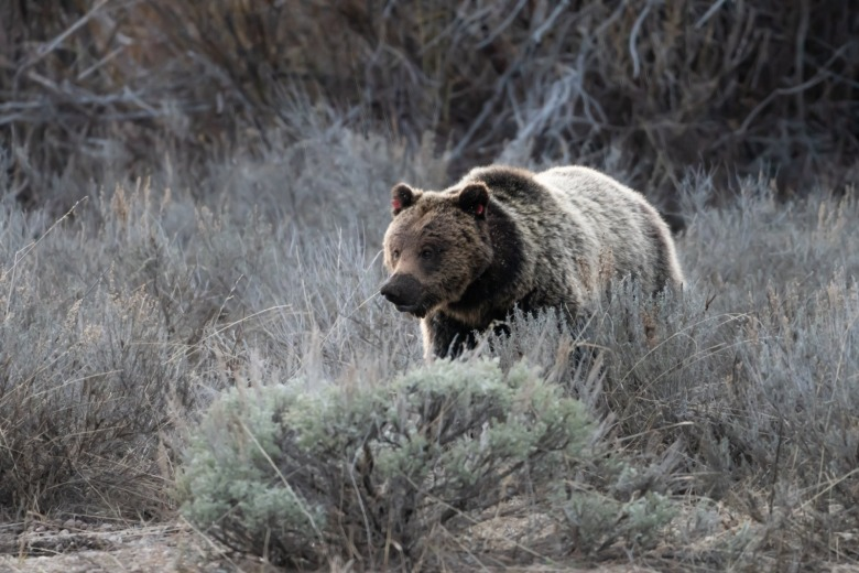 A grizzly that inhabits Grand Teton National Park and the adjacent national forest. Wilderness areas in Greater Yellowstone and other parts of the northern Rockies are different from wilderness areas elsewhere in the West. They function as refugia for grizzlies.  Photo courtesy C. Adams/NPS