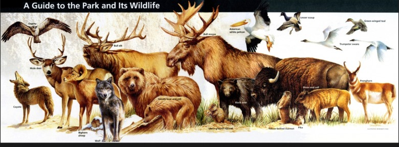Most of the animals featured in this wildlife pamphlet given to visitors in Yellowstone also inhabit the Gallatin Mountains outside the national park. Burritt says protecting high quality wildlife habitat there is as important as safeguarding it in Yellowstone.  Image courtesy NPS