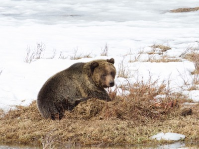 Grizzly on a carcass