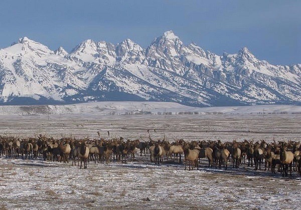 Elk gather in highly-concentrated numbers over artificial feed given to them at the National Elk Refuge in Jackson Hole. Many experts say the practice is setting up one of the most famous wapiti herds in America for potential catastrophe with Chronic Wasting Disease. The state of Wyoming operates another 22 feedgrounds and has been reluctant to shut them down. Photo courtesy US Fish and Wildlife Service/National Elk Refuge