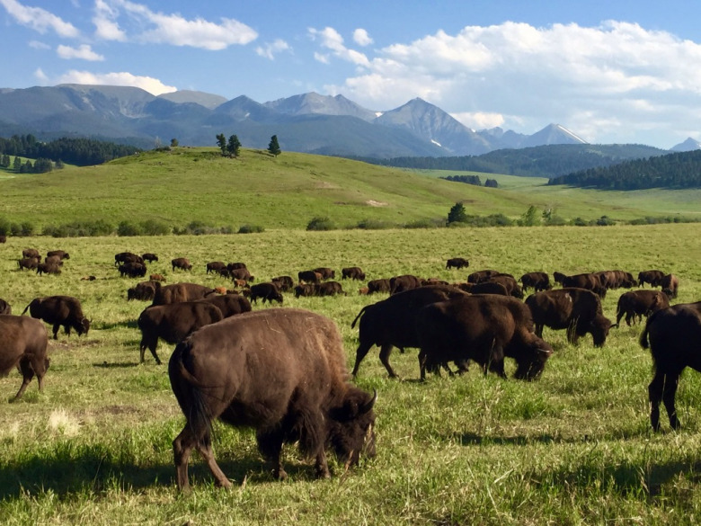 Bison graze on Ted Turner's Flying D Ranch southwest of Bozeman with the Spanish Peaks rising in the background.  The 6,000 bison on the Flying D are the largest herd in Greater Yellowstone, bigger even than the wild bison population in Yellowstone National Park.  Photo by Todd Wilkinson