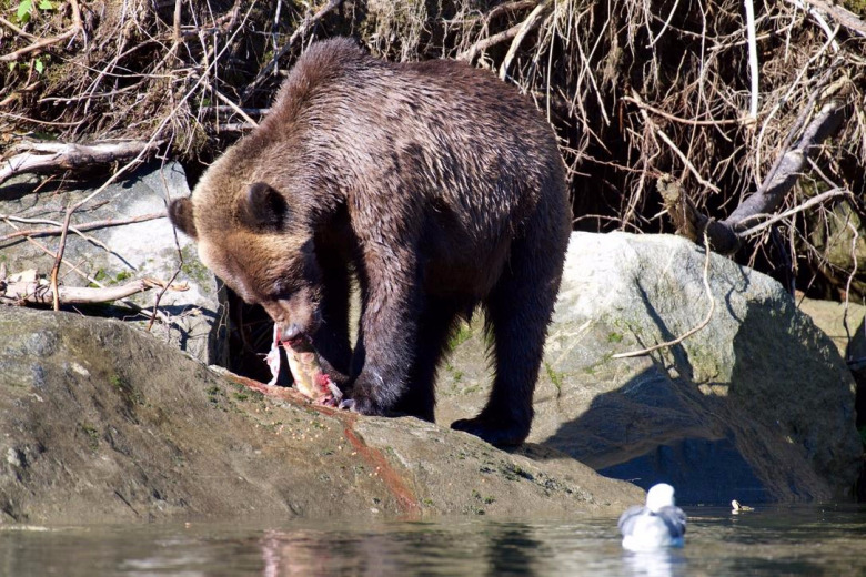 A grizzly along the Pacific Coast in Canada feasting upon spawning salmon.  Photo courtesy Dr. Paul C. Paquet