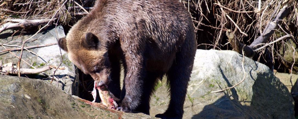 What's the cause of skinny grizzlies in Canada?
