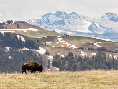 A bison in Yellowstone