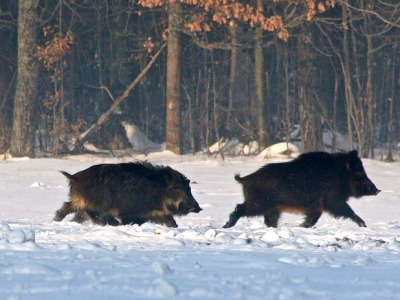 "Feral hogs morphing back to ""wild"" pigs"