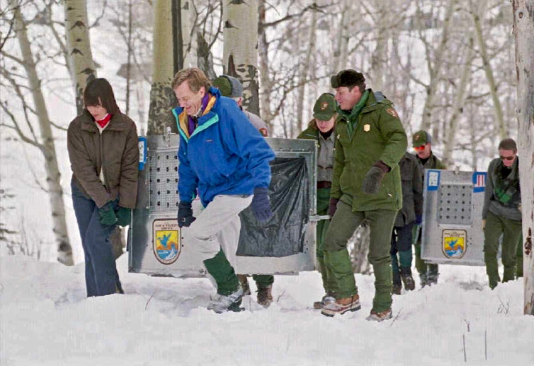 Conservation history made: In January 1995, the late Mollie Beattie, then national director of the U.S. Fish and Wildlife Service, Interior Secretary Bruce Babbitt (blue jacket) and Yellowstone Superintendent Mike Finley to the right of Babbitt, carried in the first group of wolf transplants to their pens in the Lamar Valley of Yellowstone. The author of this essay, Norman Bishop, can be seen in the photo at far right.  Photo courtesy Jim Peaco/National Park Service.