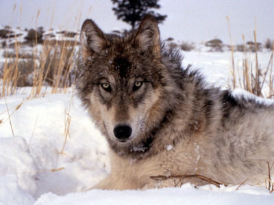 Canis lupus headed for Colorado?
