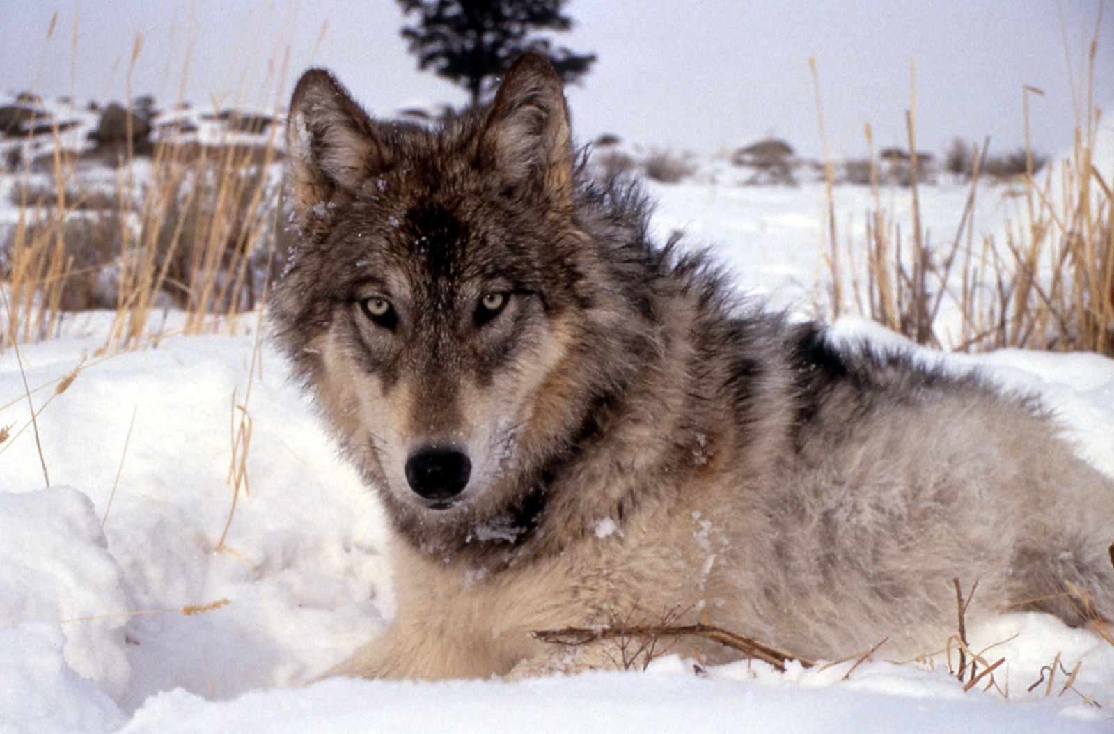 Canis lupus, the gray wolf. Have we become smarter in thinking about wolves?  Photo courtesy National Park Service