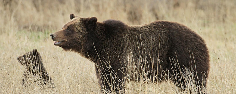 Is bear baiting a hazard for grizzlies?