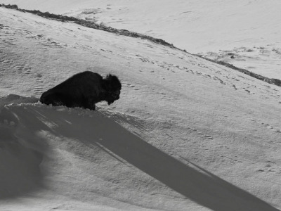A bison trying to survive winter in Yellowstone