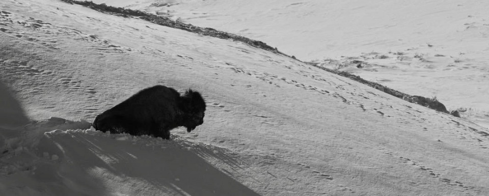 A bison trying not to become winterkill in Yellowstone