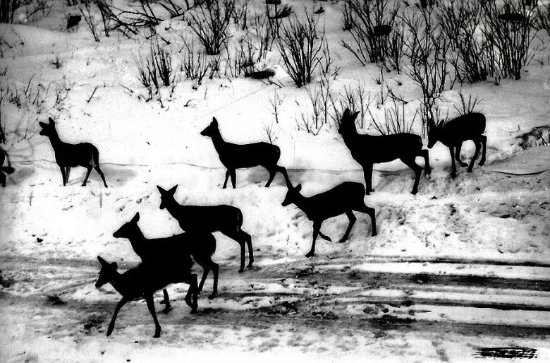 White-tailed deer moving through the homeland of Red Elk and her Dakota and Lakota ancestors. Historic photo courtesy USDA