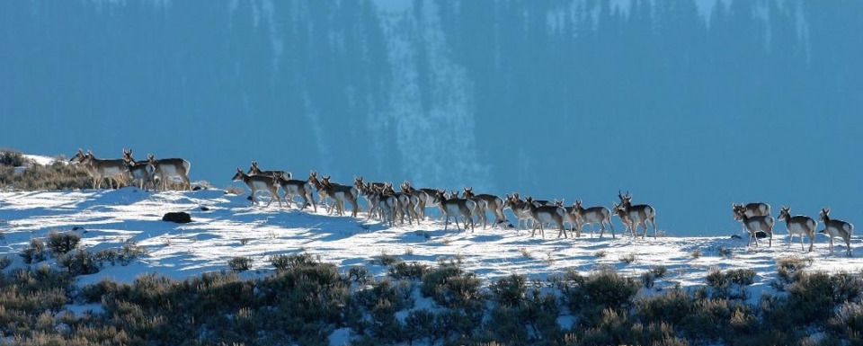Pronghorn following an ancient pathway