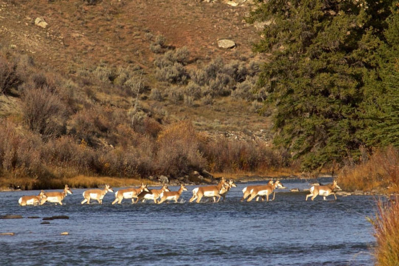 Pronghorn crossing the Gros Ventre River. Be it pronghorn, deer, elk or other migratory species, they often must find their way through a harrowing gauntlet twice a year. It can include predators, human hunters, busy highways, towns, ranches with barbed wire fences, subdivisions with dogs, avalanches, rivers at flood stage, blizzards and drought, among other things. Photo by Franz Camenzind.
