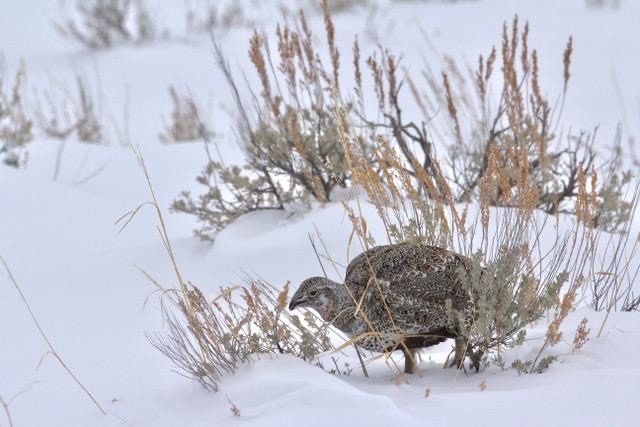 A Greater Sage-Grouse hen.  Sage-grouse are important indicators of habitat distrubance threshholds for wildlife and in most of the West, as well as Wyoming which holds the best habitat left, they are in decline.  The BLM has been allowing oil and gas drilling to proceed in sage-grouse habitat. Photo by Franz Camenzind.