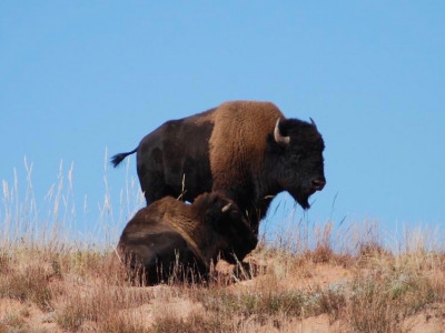 Wild bison called Montana home for millennia